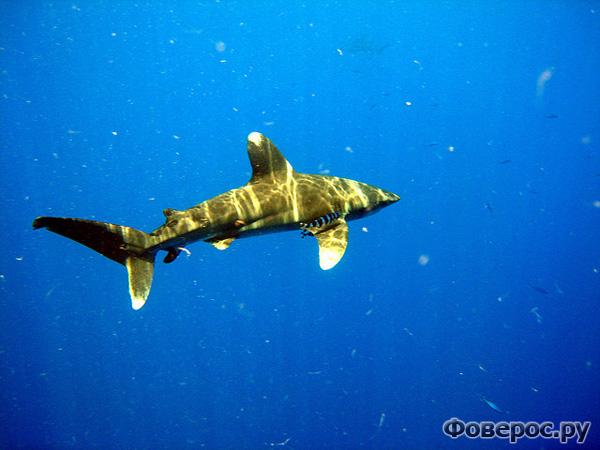 акула египет