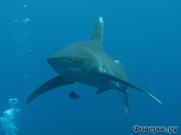 Укус акулы - Египет