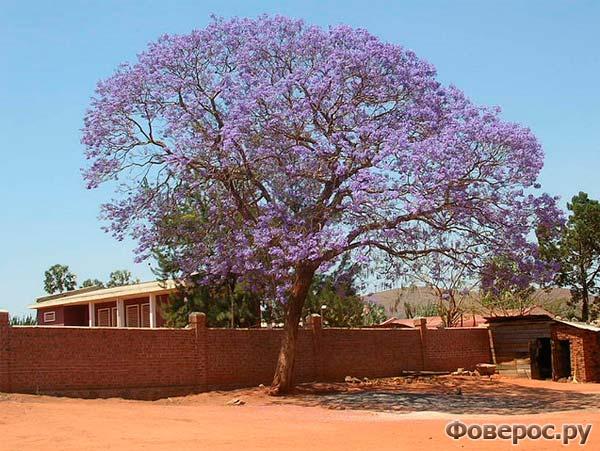 Цветущее дерево жакаранда, поселок Иоси, Мадагаскар