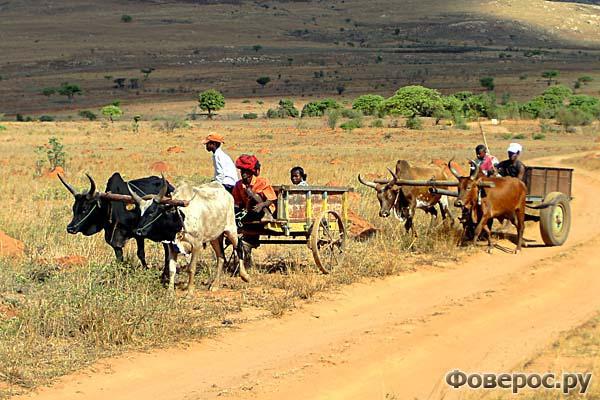 Жители племени бара запрягают зебу-коров в повозки для передвижения по саваннам