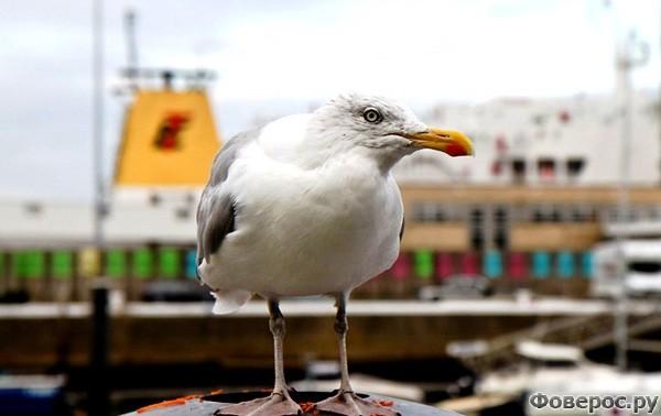 Остенде: Чайки