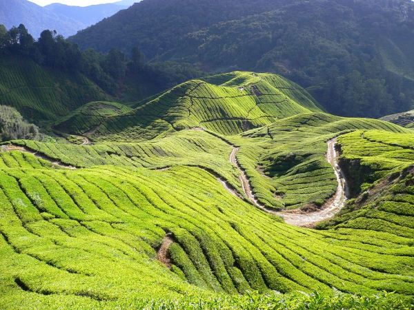 p01_H_Cameron_Boh_Tea_Plantation
